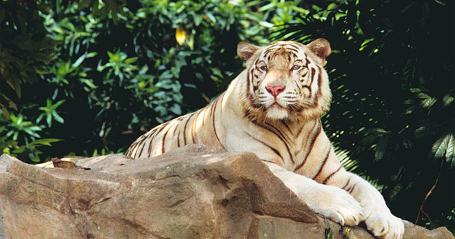 White Tiger Trek Singapore Zoo